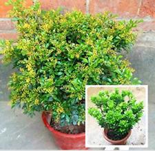 100 Pcs Aglaia Odorata Bonsai Rare Balcony Potted Plant Flower Bonsai Elegant