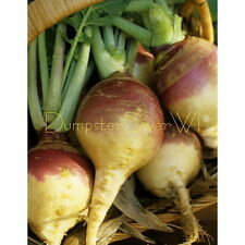 American Yellow Heirloom Sweed Purple Top Rutabaga Organic 100+ seeds NON-GMO