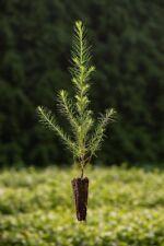 30 Stück Jungpflanzen europäische Lärche Larix im Topf 50-80cm