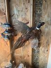 MOUNTS,RINGNECK PHEASANT, TAXIDERMY, HUNTING