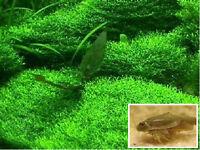 Unterwassergras bewächst Steine Untergrund Wasserpflanzen für das Aquarium Deko