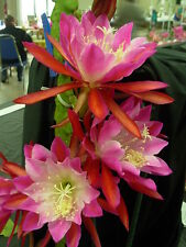 4 graines de Cactus Orchidée(EPIPHYLLUM CLOWN)H450 ORCHID CACTUS EPICACTUS SEEDS