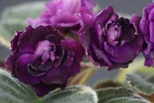 Cajun's Wine Me Up Blatt/leaf African Violet Usambaraveilchen