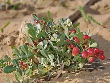 Rhus albida  ( 3 graines /seeds )