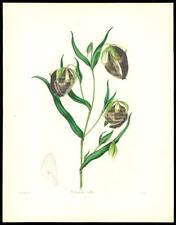 "1837 Original Antique HAND COLOURED Botanical Print ""CALOCHORTUS  ALBUS "" (137)"