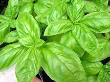 Basil - Italian Large leaf 1000 seeds * Grow your own herb *ez grow* CombSh H46