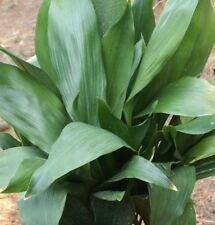 CAST IRON PLANT Aspidistra elata shade/house plant in 200mm pot