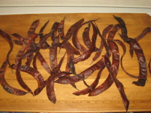 20 Locust Tree Seed Pods Great For Crafts Or Fall Decoration