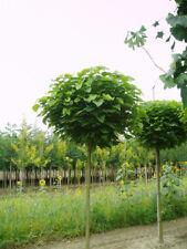 Kugel-Trompetenbaum, Höhe: 180-190 cm, Catalpa bignonioides Nana + Dünger