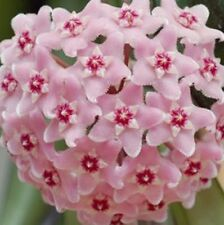 Hoya MINIBELLE Collection Number 68, scented flowers compact plant in 80mm pot