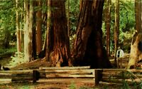 Muir Woods National Monument, Giant Redwoods, California