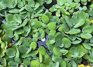 Dwarf Water Lettuce 12 Plants Live Aquarium Pond Fish Tank Buy 2 Get 1 Free