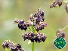 100 seeds of Buckwheat - FAGOPHYRUM ESCULENTUM + GIFT 5 seeds of Sunflower