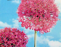 3,6,12 Blumenzwiebeln Zierlauch,Allium Purple Sensation,Liefertermin beachten