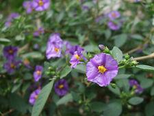 Solanum rantonnetii / Enzianstrauch / Kübelpflanze 4254 / 50-0521