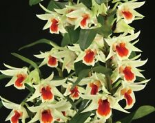 Rare dendrobium 'Green lantern' orchid plant. Fragrant flowers! Limited!