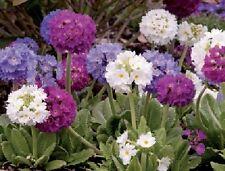 Rosea Grandiflora 100 Samen Blumen Primel