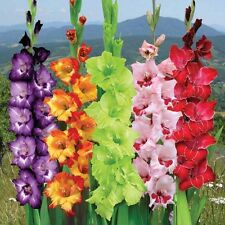 Flower Bulb - GLADIOLUS - Mixed Color Large Flowering Bulbs - Pack of 6 Bulbs