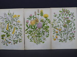 Anne Pratt Botanical, c.1899, Original Color, 3 Prints! English S2#22
