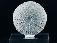45MM Sea Urchin Echinoid Psammechinus Miliaris Upper Pleistocene Morocco Stand
