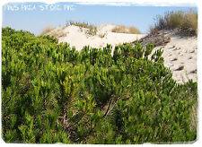 Pinus pinea 'Stone Pine' [Prov: Crete, Greece] 10+ SEEDS