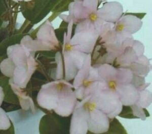 ~ Pretty African Violet Live Baby Plant *Jolly Dear* Semi-Miniature 🌸