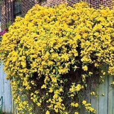 Caroline Jasmine Yellow 10 Seeds-brightens the dreariest fence