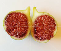"2 X ""Sumaki"" Fig Tree Cuttings, common type, Holy Land"