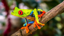"Poster 19"" x 13"" Beautiful Tree Frog"
