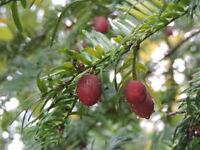 Japanische Pflaumeneibe - Cephalotaxus harringtoni - 10+ Samen - Saatgut - Seeds