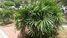 Mangrove Fan Palm - LICUALA SPINOSA - 30  Seeds - Tropicals