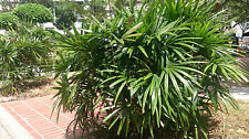 Mangrove Fan Palm - LICUALA SPINOSA - 20  Seeds - Tropicals