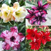 ALS_ 20Pcs Adenium Obesum Desert Rose Seeds Flower Plant Bonsai Garden Office De