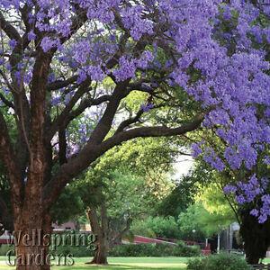 Jacaranda Tree Live Plant (Brazilian Rose Wood) - Jacaranda mimosifolia