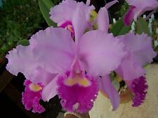 Cattleya trianaei 'Cashens' x 'Patricia' orchid Near Bloom Size C. trianae