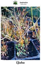 Planta de Ephedra altissima - Efedra  - Plantón forestal