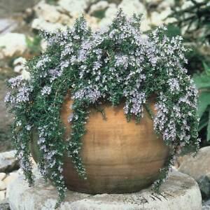 Rosmarinus officinalis prostratus  Trailing rosemary (1 x Large plug plant)