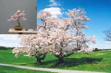 Prunus sargentii Sargent Cherry 25 seeds good for Bonsai