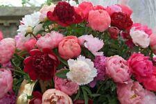 10x Peony Paeony Shrubs Flower Seeds 10 Types Plants Beautiful Home Garden Decor