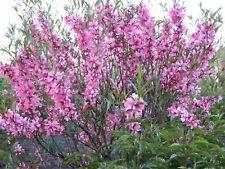 Prunus tenella 500 seeds
