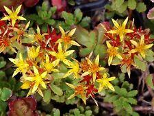 Sedum floriferum Weihenstephaner Gold winterharte Steingarten wintergrün Pflanze