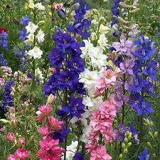 50+  DELPHINIUM Consolida, IMPERIAL CHOICE Mix aka Larkspur /  Perennial Flower
