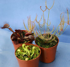 3 CARNIVOROUS PLANTS COLLECTION:Red Venus flytrap,Darlingtonia cobra lily,Sundew