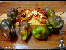 "Scotch Bonnet / Habanero ""Chocolate"" (Capsicum chinense), Jamaica, 5 Seeds, Hot!"