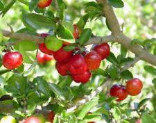 "4 Tree Barbados Cherry Live Trees Four Plants 2"" Pot Graden Outdoor"