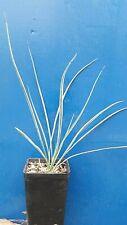 YUCCA THOMPSONIANA 1 pianta in vq 7x7x10 YUCCA BLU