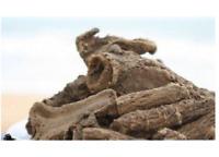 Kushta Roots, Saussurea Lappa (Costus), Indian Raw & Whole Herbs Free Ship