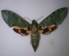 Sphingidae Euchloron megaera femelle  a1 mounted Afrique full data