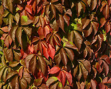 3 Parthenocissus Quinquefolia Plants / American Ivy /Virginia Creeper 2-3ft Tall