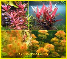 Planta de acuario .LOTE  4 tipos de  ROJIZAS.